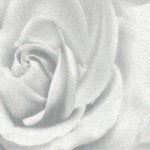 Роза-белая-TM-433