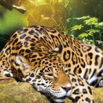 Jaguar Panthera onca resting on the trunk in a typical position